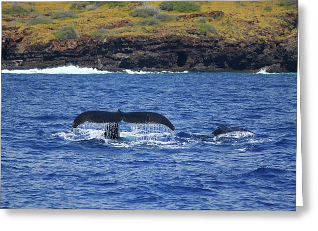 Brian Governale Greeting Cards - Mother and Calf Whaletails Greeting Card by Brian Governale