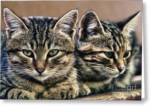 Grey Clouds Greeting Cards - Mother And Child Wild Cats Greeting Card by Stylianos Kleanthous