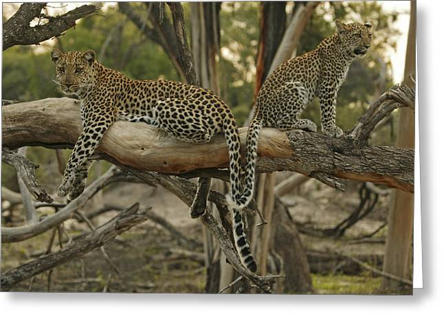 Wildcats Greeting Cards - Mother And Daughter Leopards Touch Greeting Card by Beverly Joubert