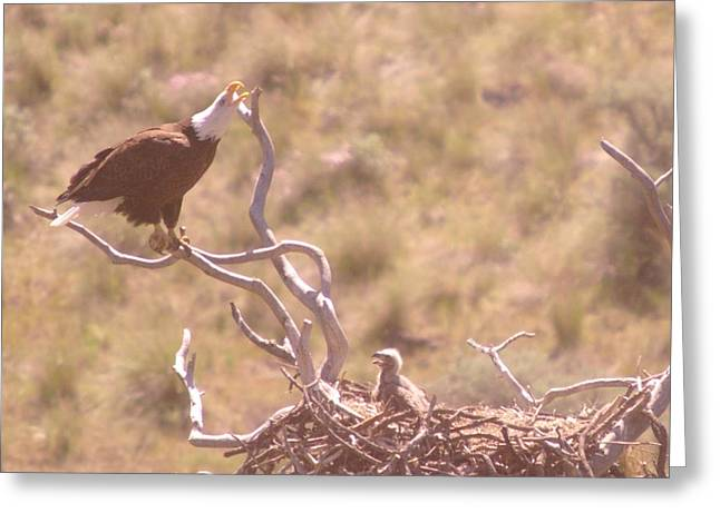 Eaglet Greeting Cards - Mother And Eaglet  Greeting Card by Jeff  Swan