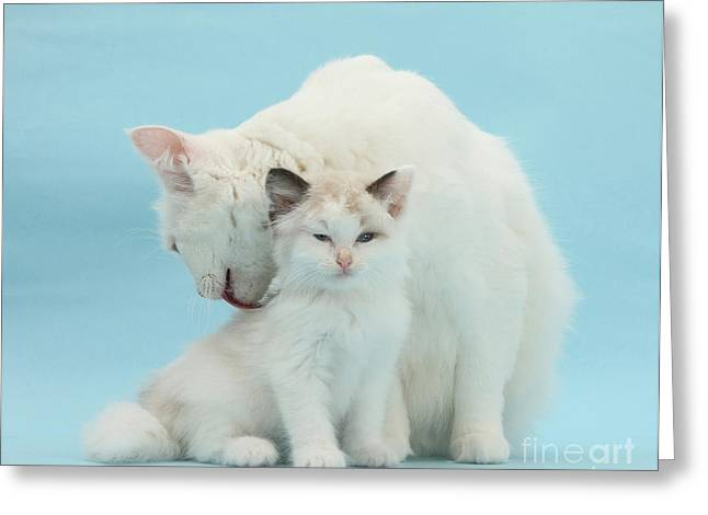 Caring Mother Greeting Cards - Mother Cat Caring For Kitten Greeting Card by Mark Taylor