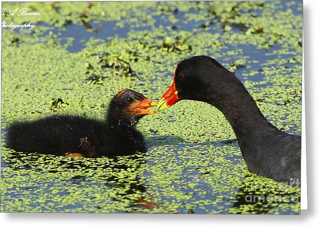 Polk County Florida Greeting Cards - Mother common Gallinule feeding baby chick Greeting Card by Barbara Bowen