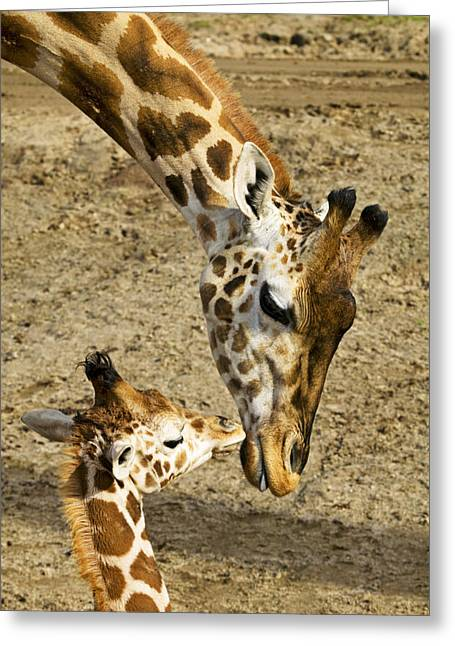 Affection Greeting Cards - Mother giraffe with her baby Greeting Card by Garry Gay