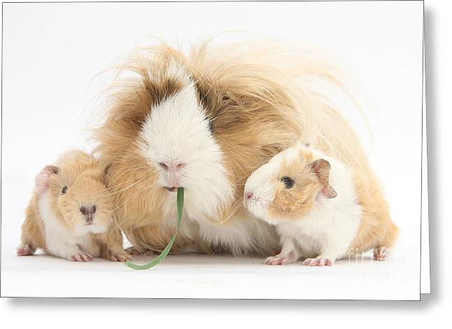 Piglets Greeting Cards - Mother Guinea Pig And Baby Guinea Greeting Card by Mark Taylor