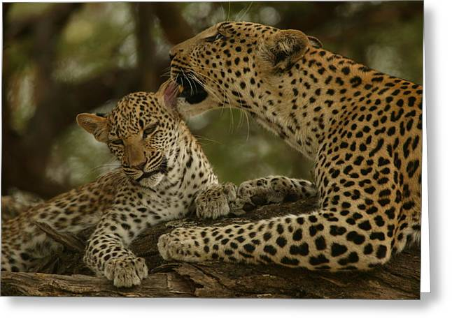 Juvenile Mammals Greeting Cards - Mother leopard, Panthera Greeting Card by National Geographic