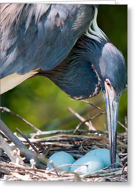 Tricolored Heron Greeting Cards - Motherhood 2 Greeting Card by Kenneth Albin
