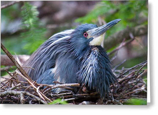 Tricolored Heron Greeting Cards - Motherhood Greeting Card by Kenneth Albin