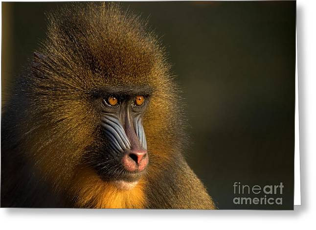 Apes Greeting Cards - Mothers Finest Greeting Card by Photodream Art
