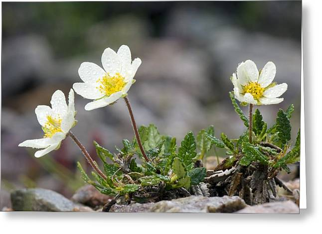 Avens Greeting Cards - Mountain Avens (dryas Octopetala) Greeting Card by Duncan Shaw