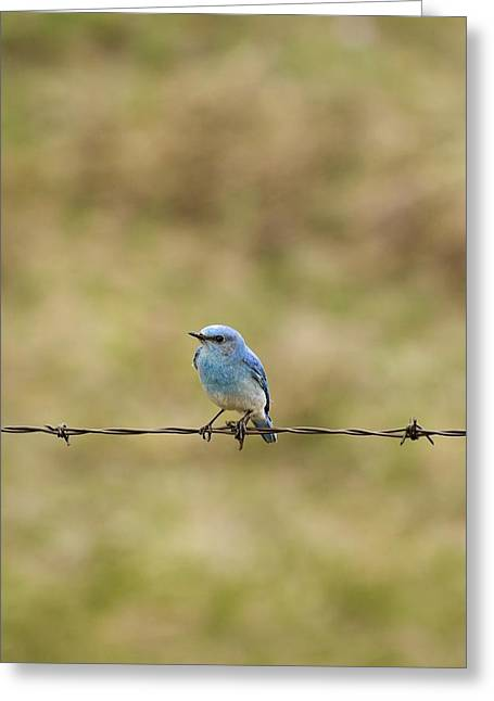 Mountain Bluebird On A Fence Wire Greeting Card by Philippe Widling
