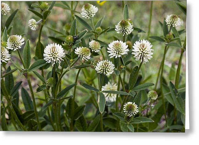 Green Foliage Greeting Cards - Mountain Clover (trifolium Montanum) Greeting Card by Bob Gibbons