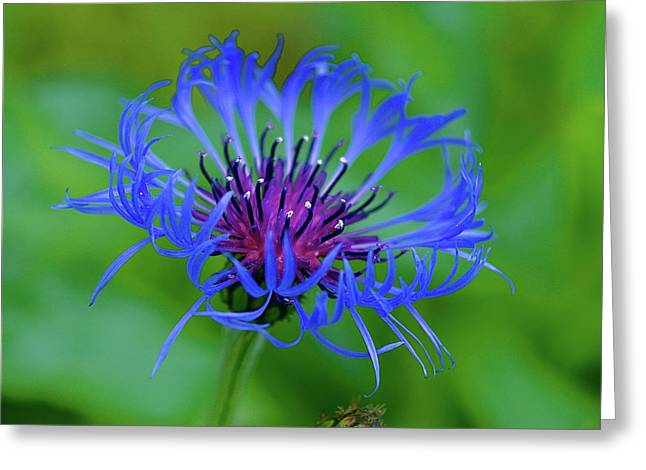 Centaurea Montana Greeting Cards - Mountain Cornflower Greeting Card by Byron Varvarigos