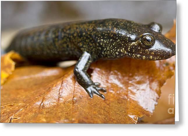 Salamander Greeting Cards - Mountain Dusky salamander Greeting Card by Dustin K Ryan