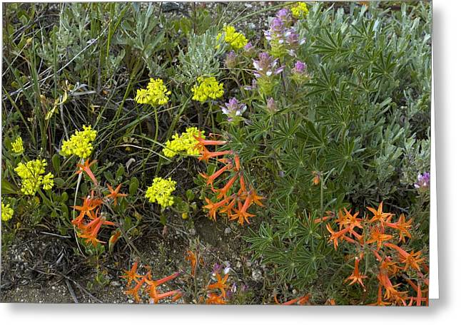 Skyrockets Greeting Cards - Mountain Flowers, Usa Greeting Card by Bob Gibbons