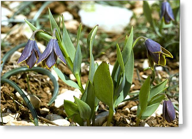 Bey Greeting Cards - Mountain Fritillary (fritillaria Pinardii Greeting Card by Bob Gibbons