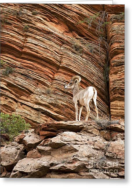 Edge Greeting Cards - Mountain goat Greeting Card by Jane Rix