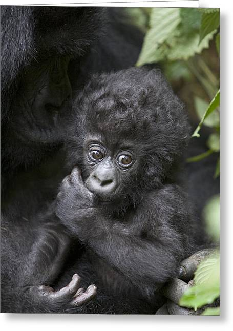Critically Endangered Species Greeting Cards - Mountain Gorilla 3 Month Old Infant Greeting Card by Suzi Eszterhas