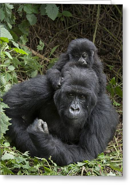Critically Endangered Animals Greeting Cards - Mountain Gorilla Mother And 1.5yr Old Greeting Card by Suzi Eszterhas