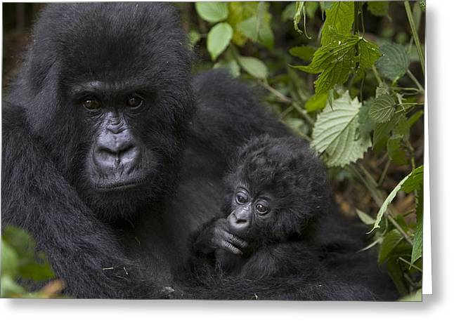 Critically Endangered Species Greeting Cards - Mountain Gorilla Mother Holding 3 Month Greeting Card by Suzi Eszterhas