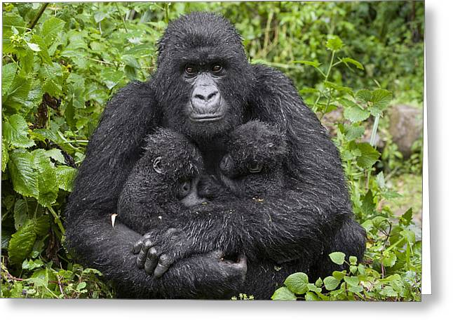Critically Endangered Species Greeting Cards - Mountain Gorilla Mother Holding 5 Month Greeting Card by Suzi Eszterhas