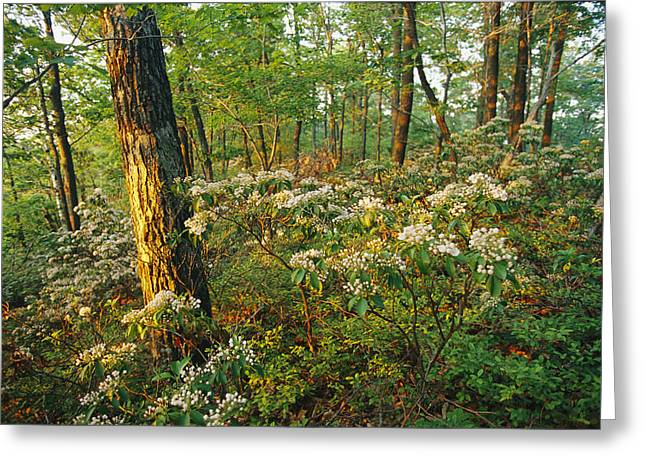 Middle Atlantic States Greeting Cards - Mountain Laurel Blooming In A Hyner Greeting Card by Skip Brown