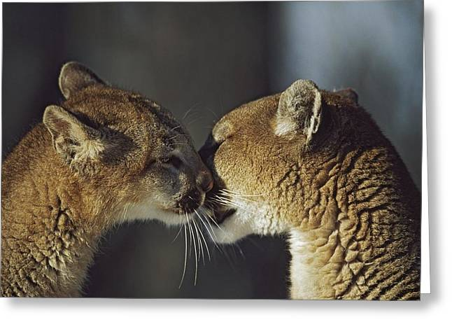 Family Love Greeting Cards - Mountain Lion Felis Concolor Cub Greeting Card by David Ponton
