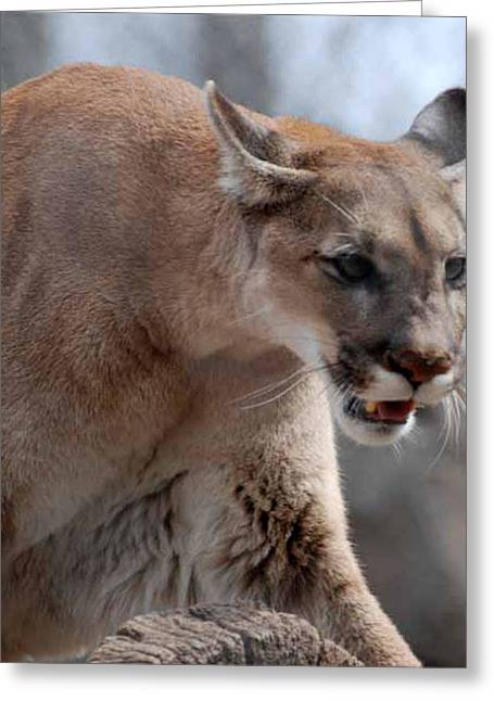Large Cats Greeting Cards - Mountain Lion Greeting Card by Paul Ward