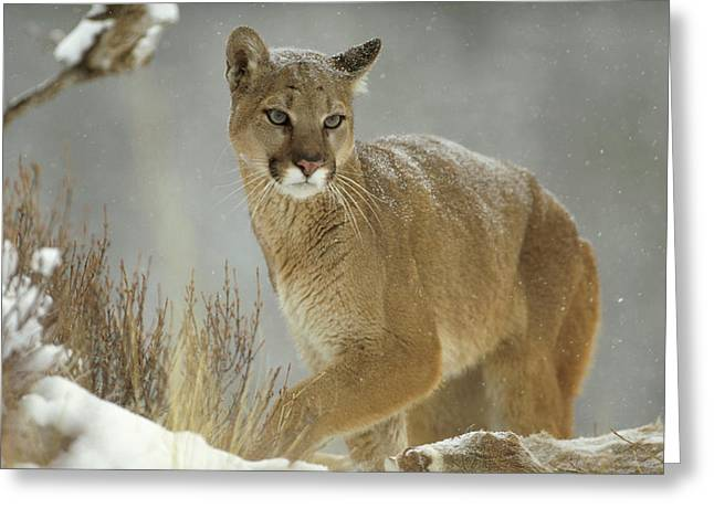 Felidae Greeting Cards - Mountain Lion Puma Concolor Adult Greeting Card by Tim Fitzharris