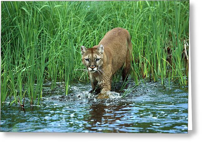 Mountain Lion Puma Concolor Wading Greeting Card by Konrad Wothe