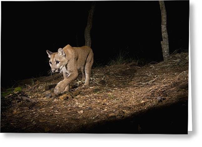 Monterey Bay Image Greeting Cards - Mountain Lion Wild Juvenile At Night Greeting Card by Sebastian Kennerknecht
