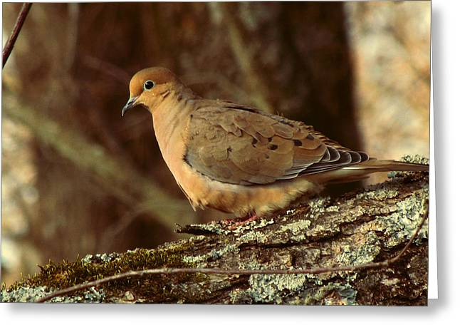 Earth Tone Photographs Greeting Cards - Mourning Dove at Dusk Greeting Card by Amy Tyler