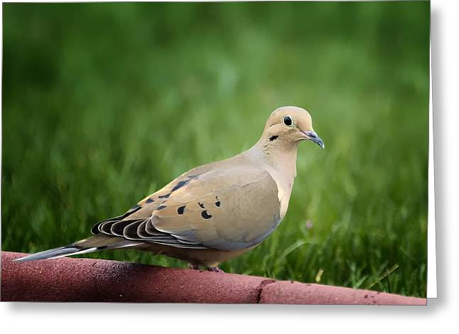 Mourning Dove Greeting Cards - Mourning Dove Greeting Card by Bill Tiepelman