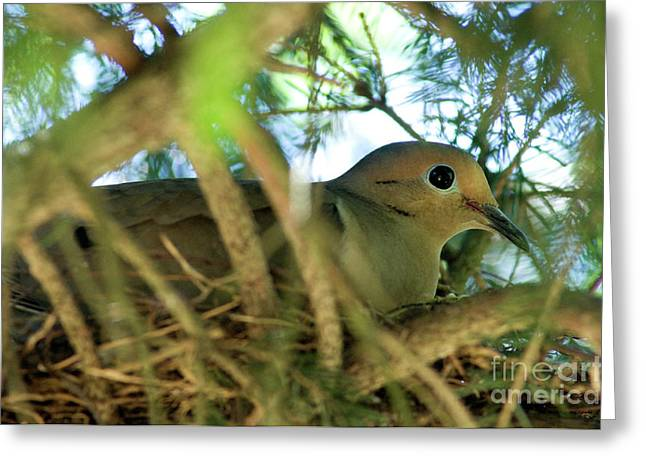 Mourning Dove Greeting Cards - Mourning Dove on Nest Greeting Card by Thomas R Fletcher
