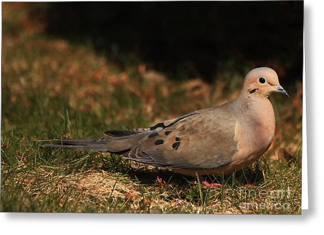 Mourning Dove Greeting Cards - Mourning Dove Spring 2012 Greeting Card by Marjorie Imbeau
