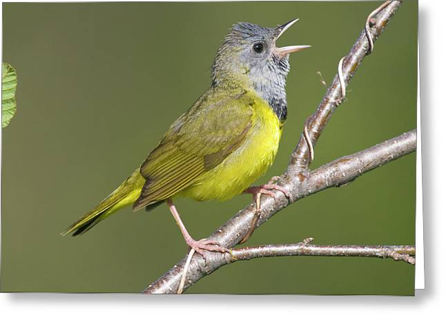 Us Open Photographs Greeting Cards - Mourning Warbler Oporornis Philadelphia Greeting Card by Steve Gettle