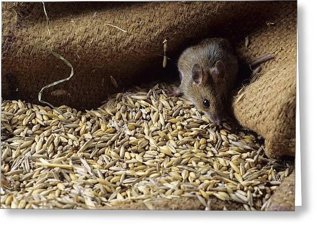 Grain Sacks Greeting Cards - Mouse By Spilt Grain Greeting Card by David Aubrey