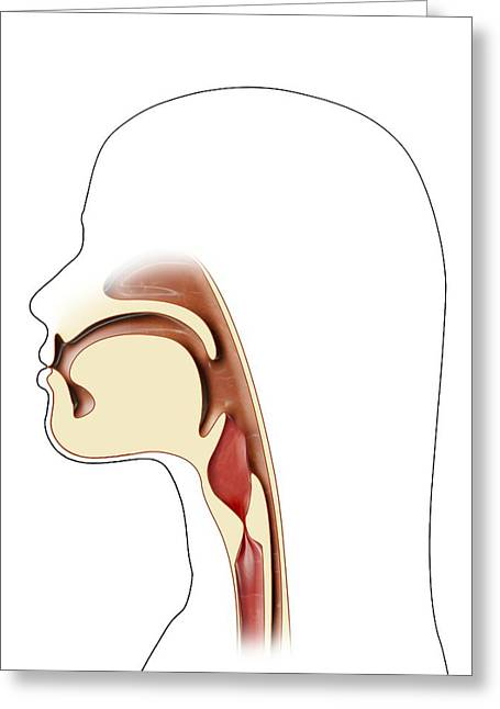 Ent Photographs Greeting Cards - Mouth And Throat Anatomy, Artwork Greeting Card by Claus Lunau
