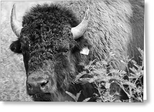 Bison Photos Greeting Cards - Mr Goodnights Bison Greeting Card by Melany Sarafis