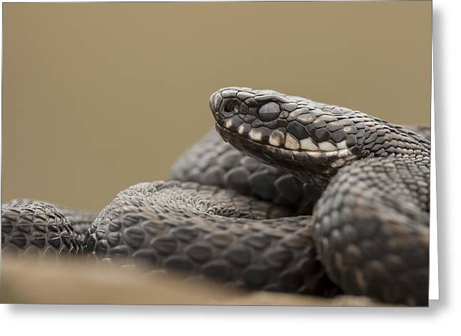 Snake Scales Greeting Cards - Mr. Grumpy Greeting Card by Andy Astbury