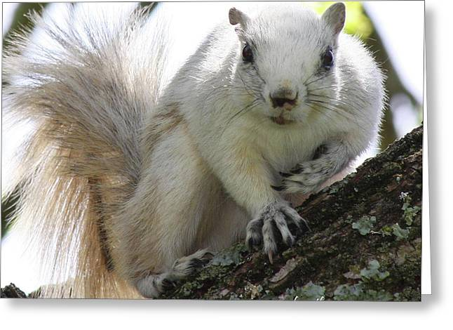 Fox Squirrel Greeting Cards - Mr. Inquisitive II Greeting Card by Betsy A  Cutler