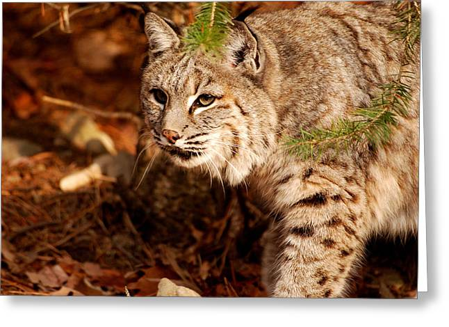 Bobcat Greeting Cards - Mr. Whiskers Greeting Card by Lori Tambakis