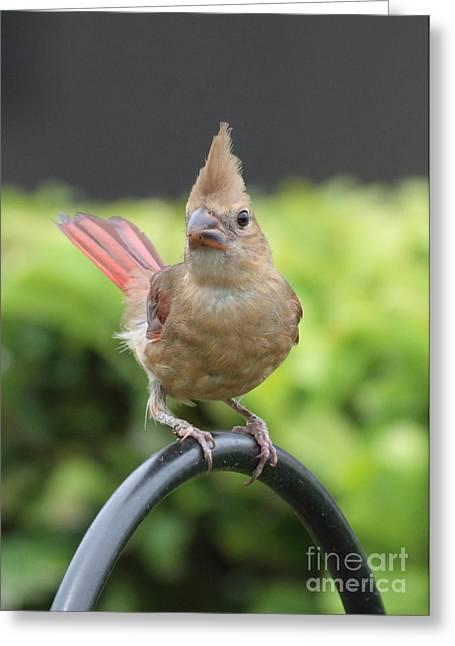 Mrs Cardinal Greeting Card by Carol Groenen