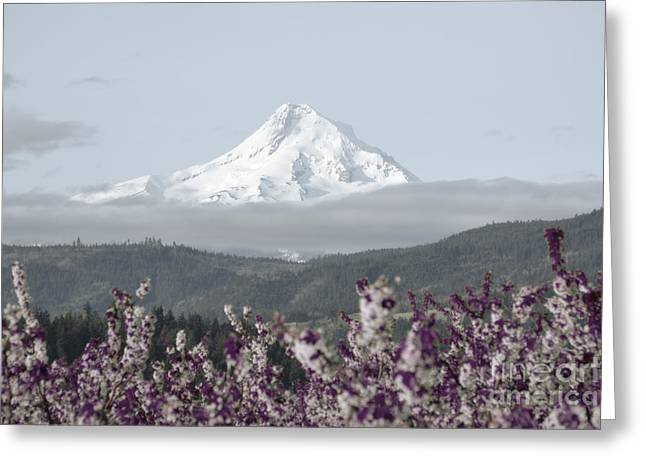 Pastel Mountains Prints Greeting Cards - Mt Hood Lavender Greeting Card by Andrea Hazel Ihlefeld