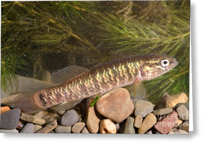 Minnows Greeting Cards - Mud Minnow Greeting Card by Ted Kinsman
