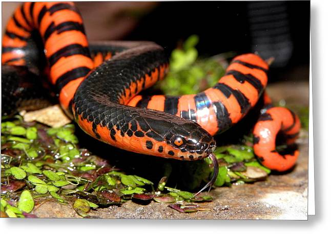 Mud Snake Greeting Card by Griffin Harris
