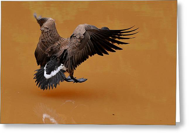 Geese Greeting Cards - Muddy Pond Hover Landing Goose  - c4558d  Greeting Card by Paul Lyndon Phillips