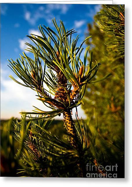 Mugo Pine Branch Greeting Card by Terry Elniski