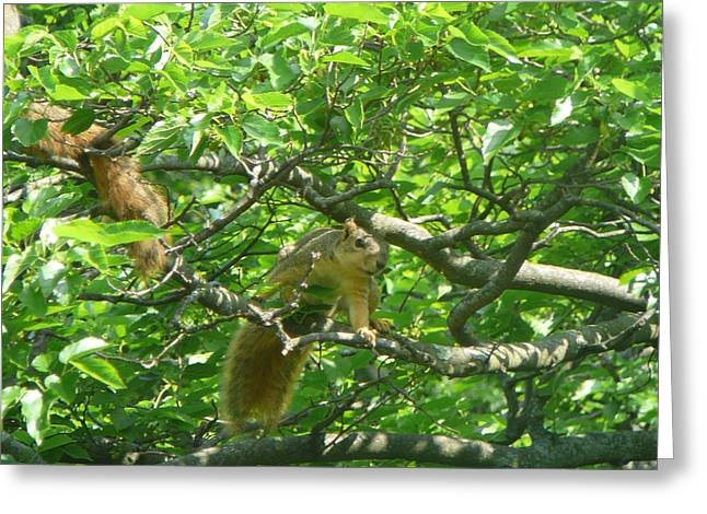 Fox Squirrel Greeting Cards - Mulberry Bandits Greeting Card by Liann Boggs-hill