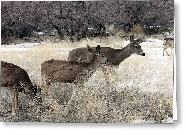 Grazing Snow Greeting Cards - Mule Deer - 0007 Greeting Card by S and S Photo