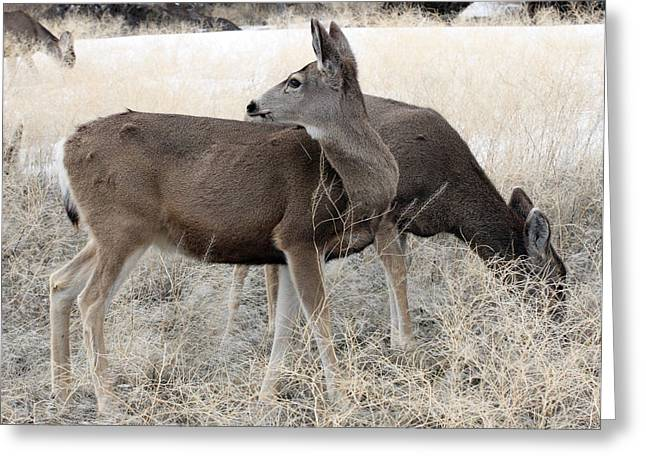 Grazing Snow Greeting Cards - Mule Deer - 0008 Greeting Card by S and S Photo
